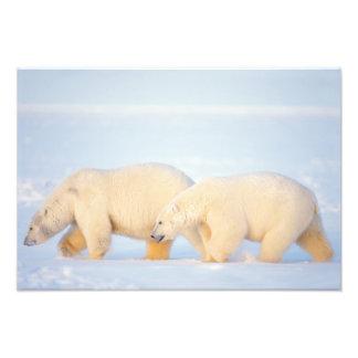 Polar bears on frozen Arctic, 1002 coastal Art Photo