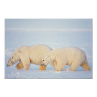 Polar bears on frozen Arctic, 1002 coastal Poster