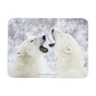 Polar Bears playing in the snow. Magnet