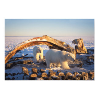 Polar bears scavenging on a bowhead whale photo print