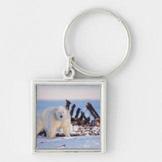 Polar bears scavenging on baleen whale bones, key ring