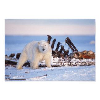 Polar bears scavenging on baleen whale bones, photo print