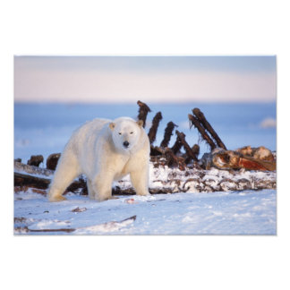 Polar bears scavenging on baleen whale bones, photographic print