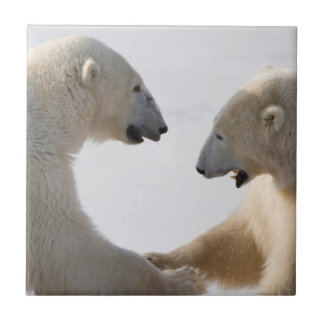Polar Bears sparring Tile