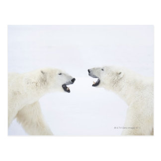 Polar Bears standing on snow after playing Postcard