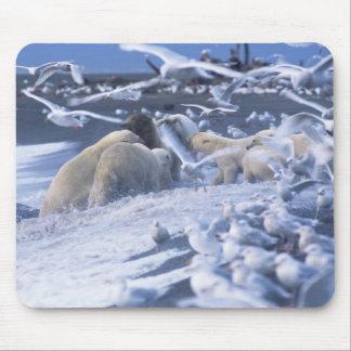Polar Bears Ursus maritimus), gather around Mouse Pad