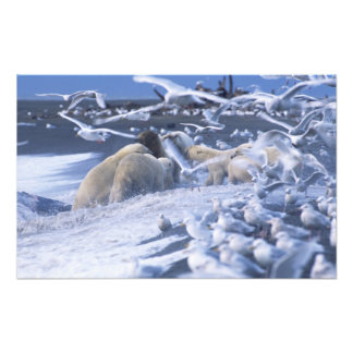 Polar Bears Ursus maritimus), gather around Photo Print