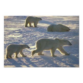 Polar bears Ursus maritimus) Two females, Photo Print