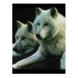 Polar Wolf Postcard