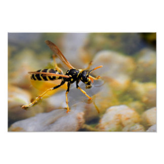 Polistes dominula on drinking water poster