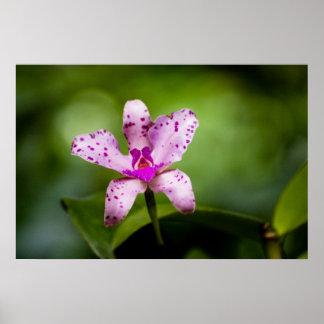 Polka-Dot Orchid Poster