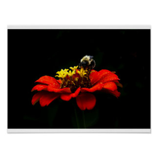 Pollen Covered Bee on a Zinnia Flower Posters