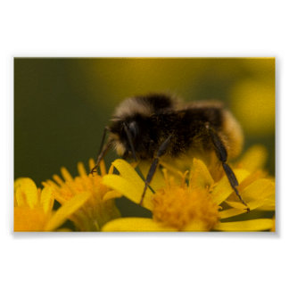 Pollinating Bumblebee Poster
