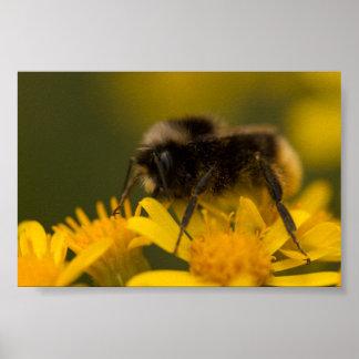 Pollinating Bumblebee Poster