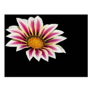 Pollination of Gazania flowerhead isolated on dark Postcard