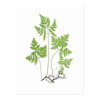 Polypodium dryopteris postcard
