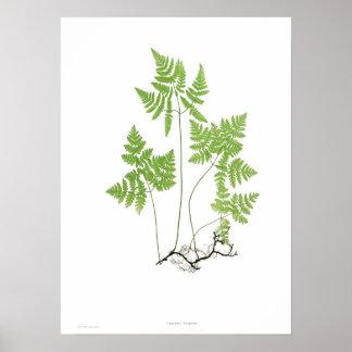Polypodium dryopteris poster