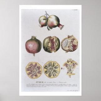 Pomegranate, engraved by Johann Jakob Haid (1704-6 Poster