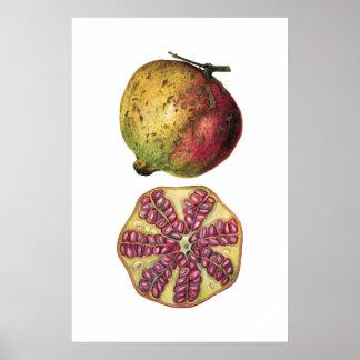 POMEGRANATE fruit botanical poster