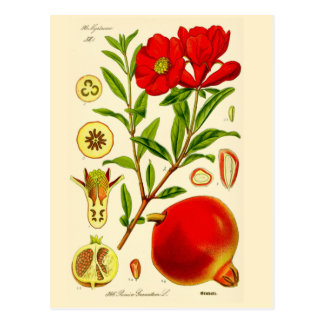 Pomegranate ~ Postcard