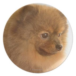 Pomeranian Dinner Plates