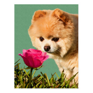 Pomeranian Dog and Rose Postcard