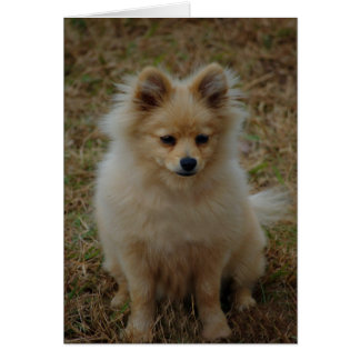Pomeranian dog cute dog breed small dog toy dog card