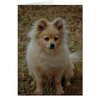 Pomeranian dog cute dog breed small dog toy dog card