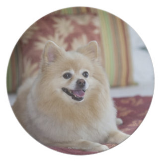 Pomeranian dog in pet friendly hotel room party plates