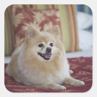 Pomeranian dog in pet friendly hotel room square sticker