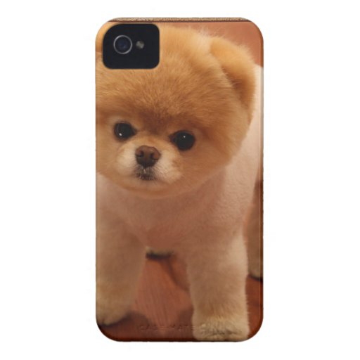 Pomeranian Dog Pet Puppy Small Adorable baby iPhone 4 Case-Mate Cases