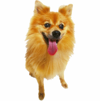 Pomeranian Dog Standing Photo Sculpture