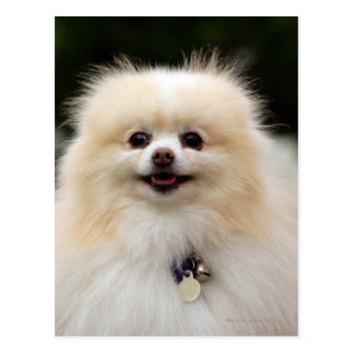 Pomeranian Headshot 1 Postcard