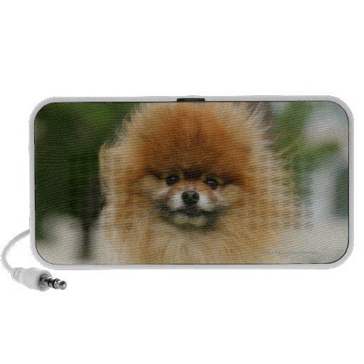 Pomeranian Headshot Looking at Camera Travelling Speaker