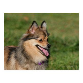 Pomeranian Headshot Panting Postcard