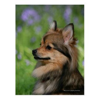 Pomeranian Headshot Sitting Postcard