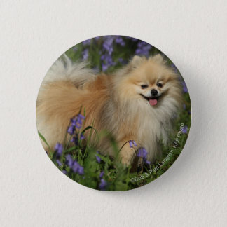 Pomeranian Looking at Camera in the Bluebells 6 Cm Round Badge