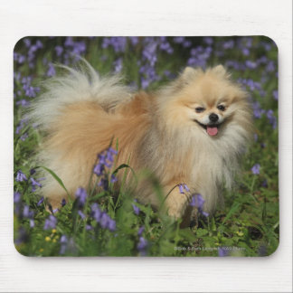 Pomeranian Looking at Camera in the Bluebells Mouse Pad