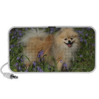 Pomeranian Looking at Camera in the Bluebells Travelling Speakers