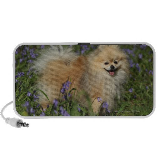 Pomeranian Looking at Camera in the Bluebells iPhone Speakers