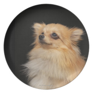 Pomeranian looking up on black dinner plate
