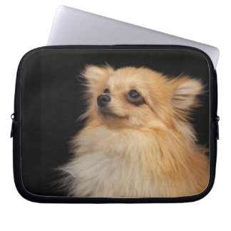Pomeranian looking up on black laptop sleeve