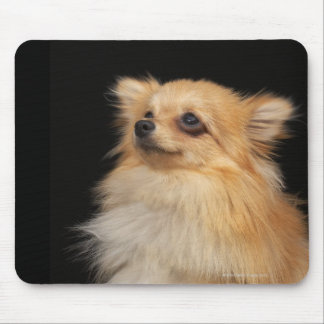 Pomeranian looking up on black mouse mat