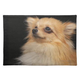 Pomeranian looking up on black placemat