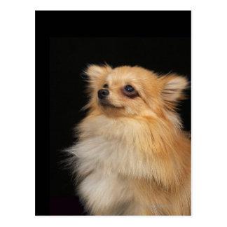 Pomeranian looking up on black postcard