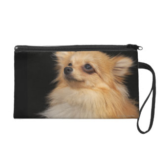 Pomeranian looking up on black wristlet