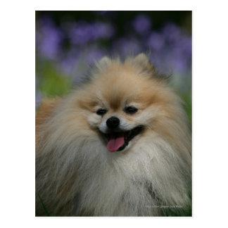 Pomeranian Panting Postcard