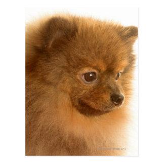 Pomeranian Postcard
