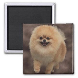 Pomeranian Square Magnet
