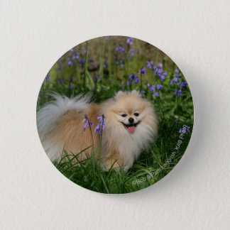 Pomeranian Standing Looking at Camera 6 Cm Round Badge
